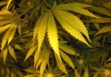 Why Marijuana Plant leaves Turning Yellow